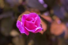 rose-large
